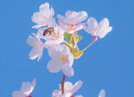 一组唯美粉嫩樱花高清图片欣赏