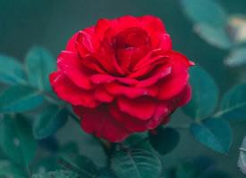 娇艳红玫瑰唯美高清图片欣赏