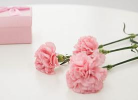 一组美丽芳香清幽的康乃馨高清图片欣赏