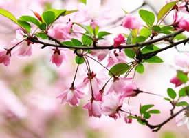 浅粉红色的樱花像一个个害羞的红脸颊