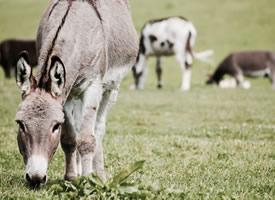 一组可爱乖巧的小毛驴高清图片欣赏
