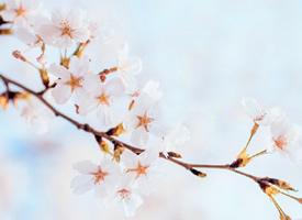樱花 一期一会,一波来自春天的小美好