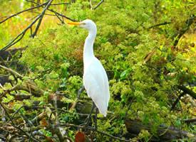 国家二级保护动物白鹭图片欣赏