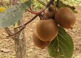 一组树上成熟的猕猴桃图片欣赏