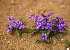 紫花地丁在中国多见于田间、草丛、灌木