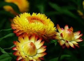 蜡菊又叫麦秆菊是原产于澳大利亚的草本植物