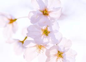一组唯美的公园樱花风景图片欣赏