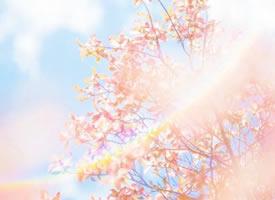 一组唯美的樱花图片欣赏