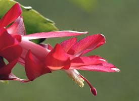 红色花卉植物唯美摄影高清图片桌面壁纸
