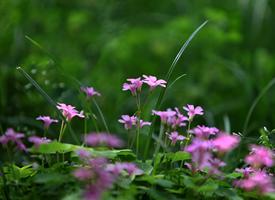 一组美丽的野生红花醡浆草图片欣赏