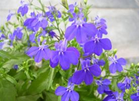 一组唯美的六倍利花朵植物图片欣赏