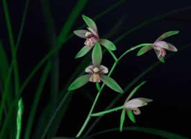 一组超美的暗色系兰花特写图片欣赏