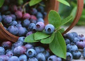 有很丰富的营养成分的小小蓝莓图片欣赏