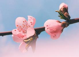 一组超级唯美的粉色桃花图片欣赏
