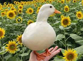 一组超级可爱的在向日葵中的鸭子图片
