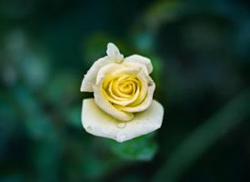 一组清新好看的玫瑰花高清图片欣赏