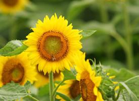 一组超美的大片大片的向日葵图片欣赏