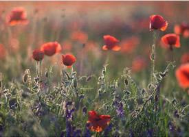唯美鲜艳的罂粟花图片桌面壁纸