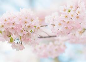 一组街道唯美的樱花图片欣赏