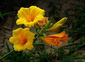 美丽的萱草花花语图片壁纸欣赏