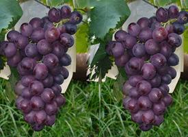不管怎样吃都特别好吃的葡萄