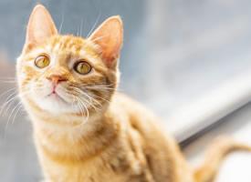一组可爱黄色的小猫高清图片