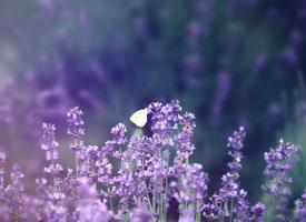 一组紫色浪漫薰衣草高清图片欣赏