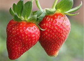 一组甜蜜红润的草莓水果图片欣赏