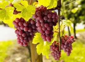 葡萄每颗珍珠似得,吃一口甜到心里