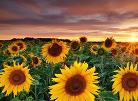 唯美绽放的太阳花图片桌面壁纸