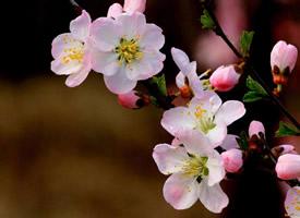 一组鲜艳唯美樱花图片欣赏