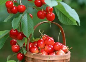 水果樱桃特写小清新图片欣赏