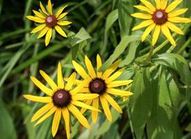 花蕊全黑盘缘细长舌状花瓣的黑心菊
