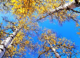 一组蓝天下的唯美树叶图片欣赏
