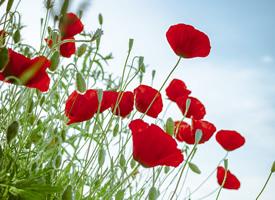 鲜艳好看的罂粟花高清图片欣赏
