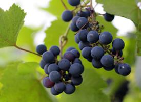 一组葡萄树上挂着的新鲜葡萄图片