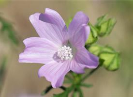漂亮锦葵花高清桌面壁纸