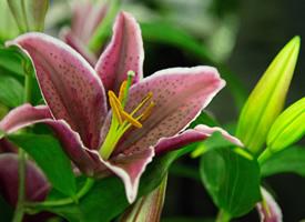 百合花花语唯美高清图片欣赏
