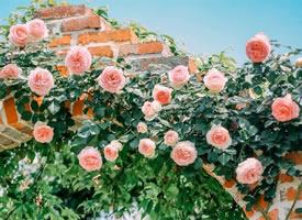 一组美丽骄阳似火的蔷薇花