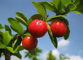 晶莹透亮的西印度樱桃图片