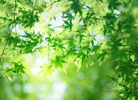 一组唯美绿色枫叶图片欣赏