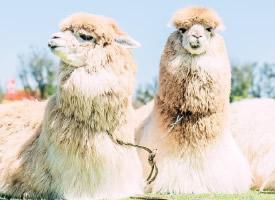 羊驼草泥马小清新图片