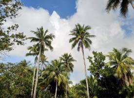 文昌东郊椰林风景实拍图片