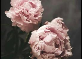 一组白粉色纯洁的芍药花图片