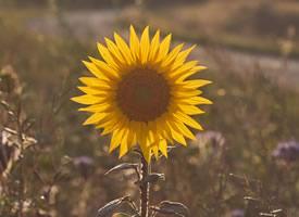 一组阳光满满的向日葵图片欣赏