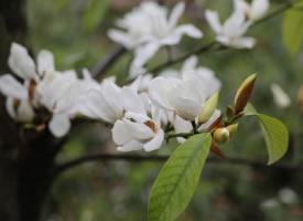 一组香香的白色含笑花图片