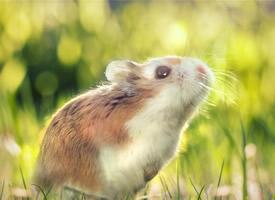 可爱的仓鼠唯美高清桌面壁纸