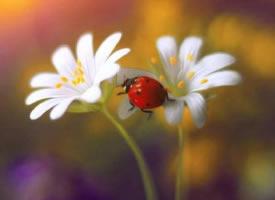 花朵上的七星瓢虫唯美高清图片