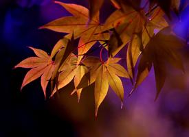 一组唯美枫叶美景桌面壁纸