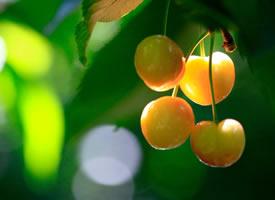 一组慢慢成熟了的樱桃图片欣赏